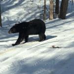 Bear sighting at km 23.5 of the Dufferin Hi-Land Bruce Trail